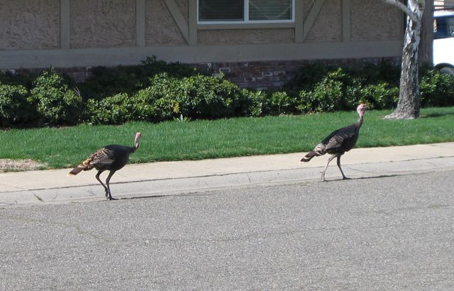 Turkeywalk